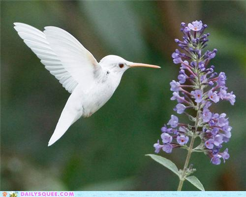 white hummingbird