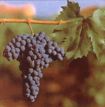 sangiovese_grapes_on_the_vine