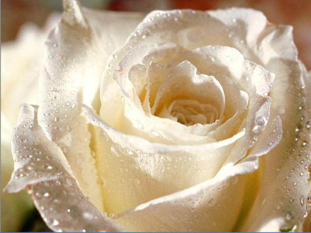 white rose