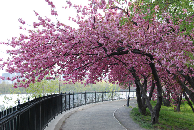 cherry-blossom-tree-central park