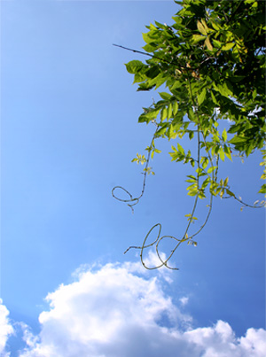 Grape vine in sky