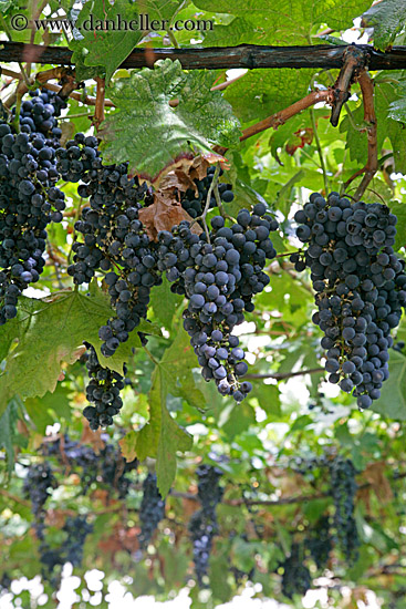 red-grapes-on-vine-2-big