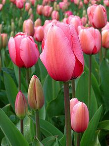 Tulip_-_floriade_canberra