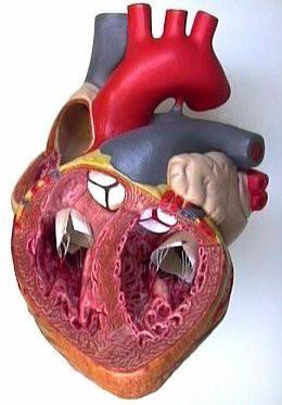 Heart-interior