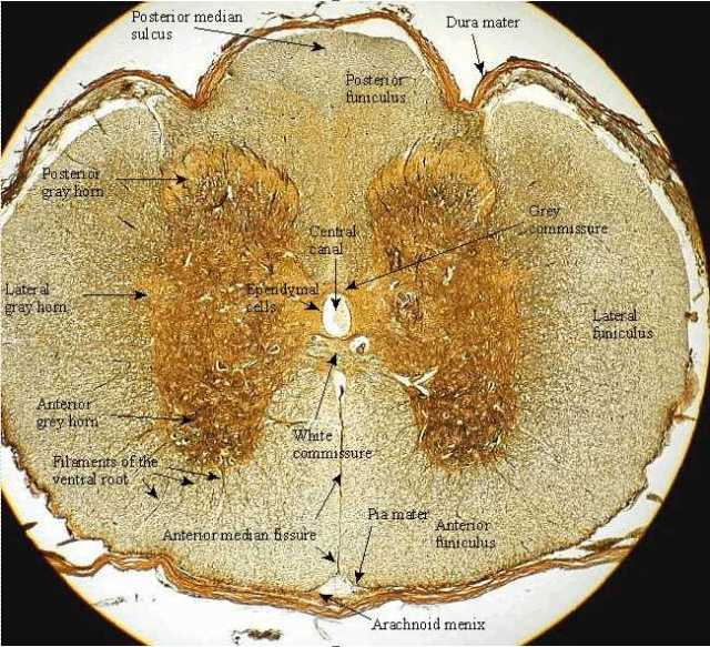 Spinal Cord histology