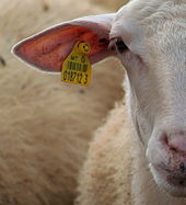 RFID chip on sheep