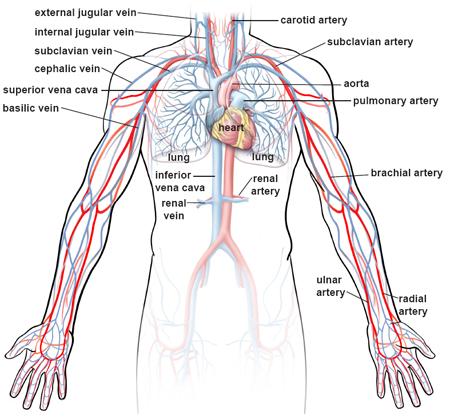 upper-body-circulation