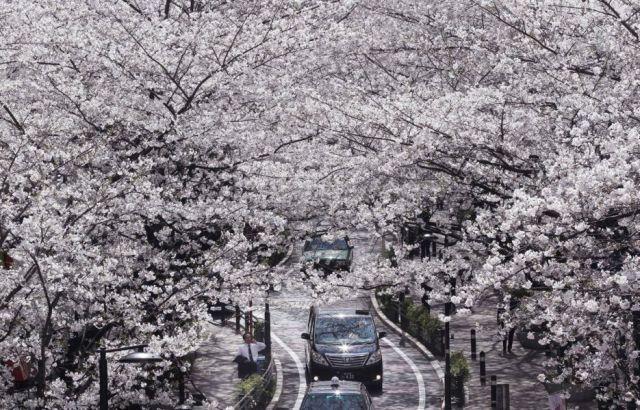 aptopix-japan-cherry-blossoms-1