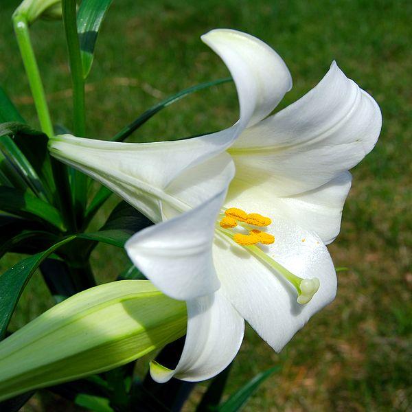 600px-Lilium_longiflorum_(Easter_Lily)