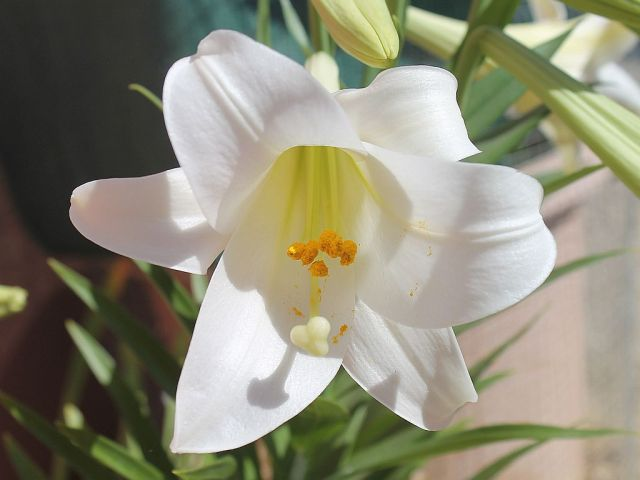 easter-lily-1