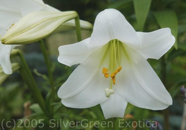 Lilium longiflorum (Easter Lily) 1 SGE (700 x 492)
